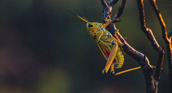 cricket chirp