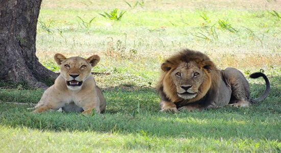 lion free